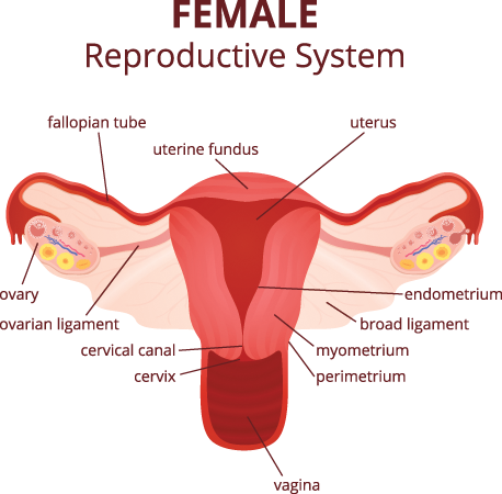 Female Reproductive (FILEminimizer)
